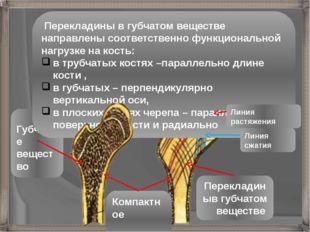 Перекладиныв губчатом веществе Губчатое вещество Компактное вещество Переклад