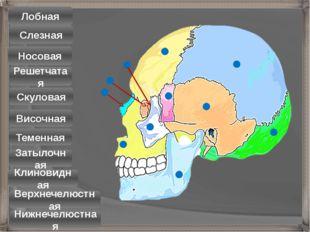 Лобная Теменная Затылочная Скуловая Верхнечелюстная Нижнечелюстная Носовая Ви
