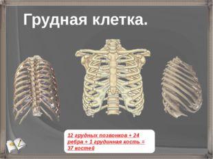 Грудная клетка. 12 грудных позвонков + 24 ребра + 1 грудинная кость = 37 костей