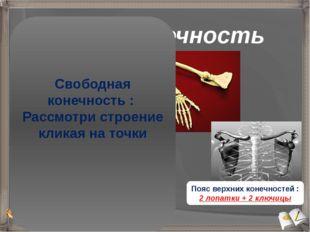 Верхняя конечность Пояс верхних конечностей : 2 лопатки + 2 ключицы Плечо (пл