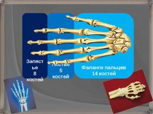Фаланги пальцев 14 костей Запястье 8 костей Пястье 5 костей