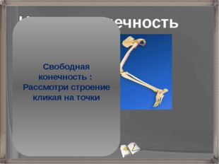 Нижняя конечность Бедро (бедренная кость) Голень (малая и большая берцовые ко