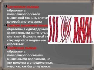 Скелетные мышцы образованы поперечнополосатой мышечной тканью, клетки которой