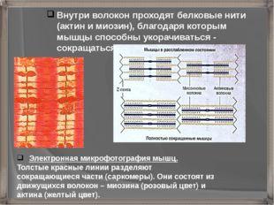 Электронная микрофотография мышц. Толстые красные линии разделяют сокращающи