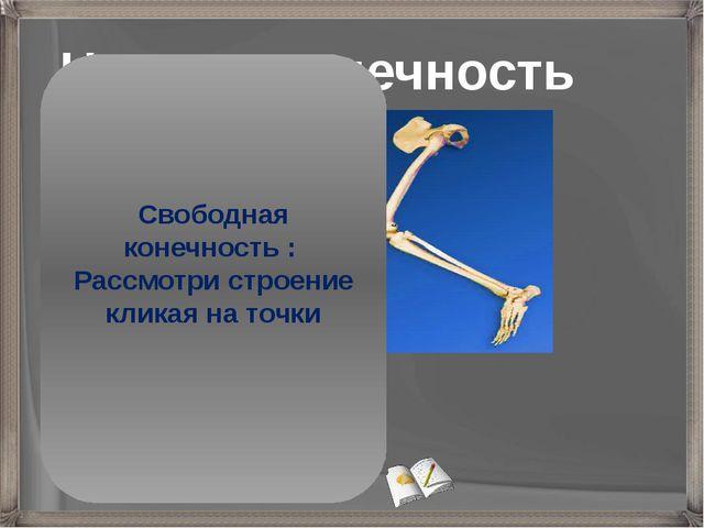 Нижняя конечность Бедро (бедренная кость) Голень (малая и большая берцовые ко...