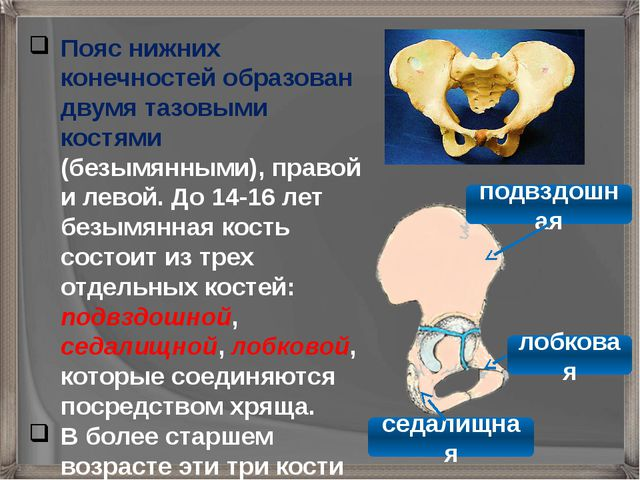 Пояс нижних конечностей образован двумя тазовыми костями (безымянными), право...