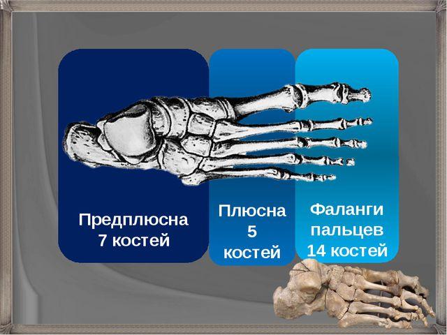 Фаланги пальцев 14 костей Плюсна 5 костей Предплюсна 7 костей