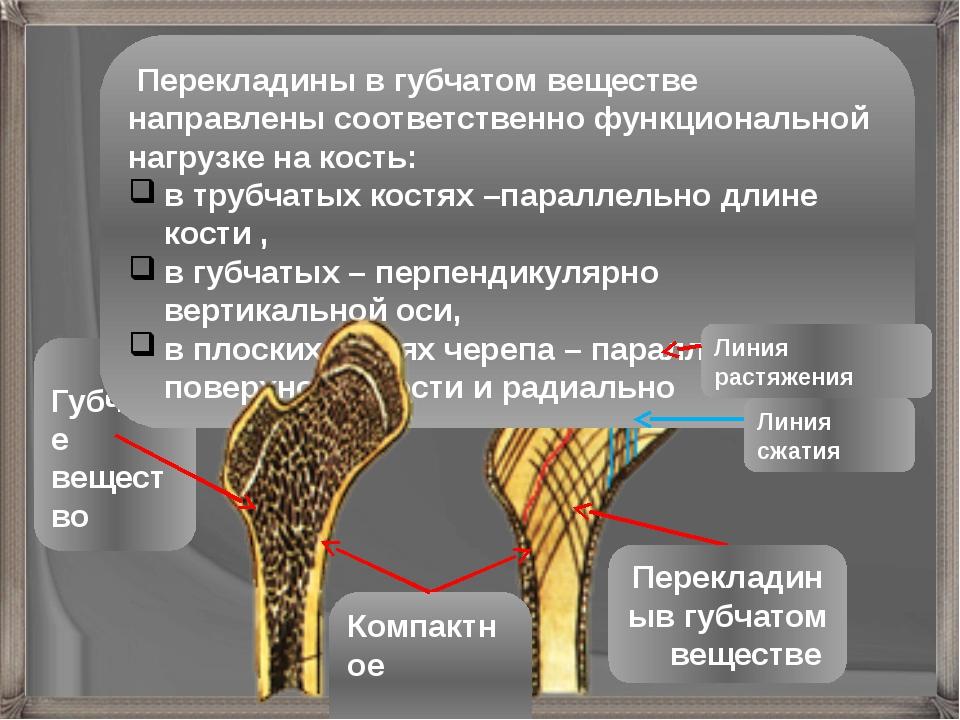 Перекладиныв губчатом веществе Губчатое вещество Компактное вещество Переклад...