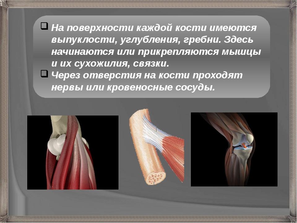 На поверхности каждой кости имеются выпуклости, углубления, гребни. Здесь нач...