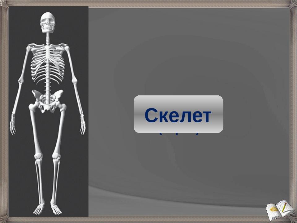 Скелет головы (череп) Скелет туловища Скелет свободных конечностей Скелет поя...