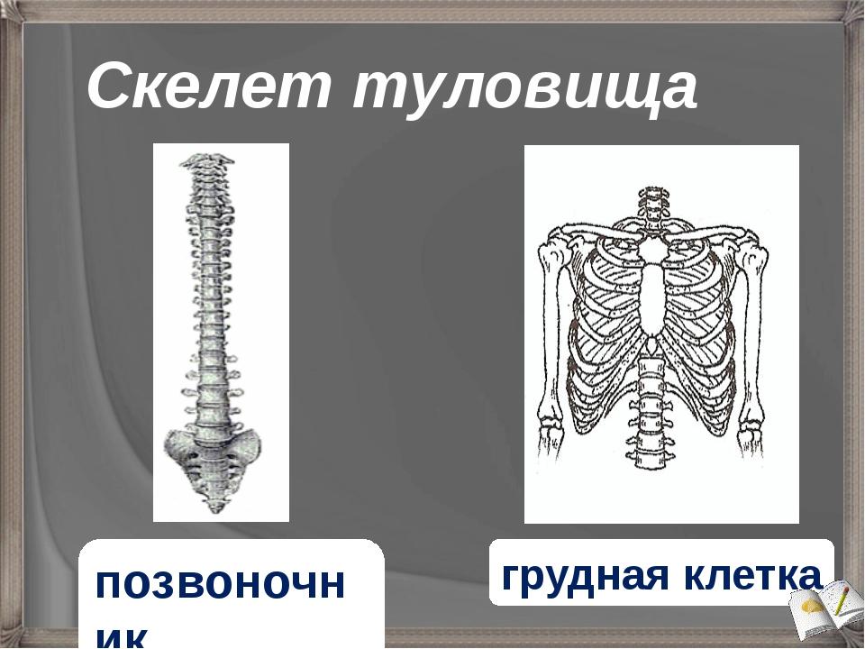 Скелет туловища позвоночник грудная клетка
