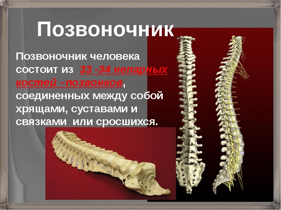 Позвоночник Позвоночник человека состоит из 33 -34 непарных костей –позвонков...
