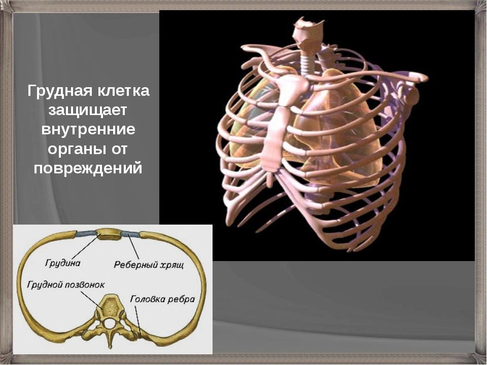 Грудная клетка защищает внутренние органы от повреждений
