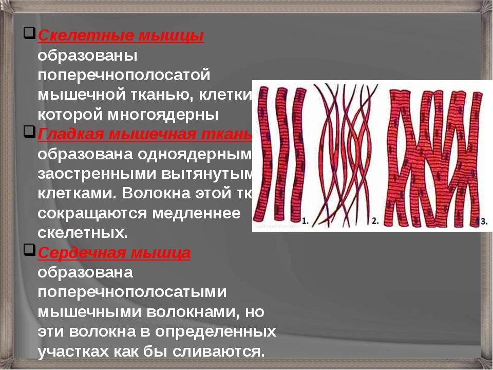 Скелетные мышцы образованы поперечнополосатой мышечной тканью, клетки которой...