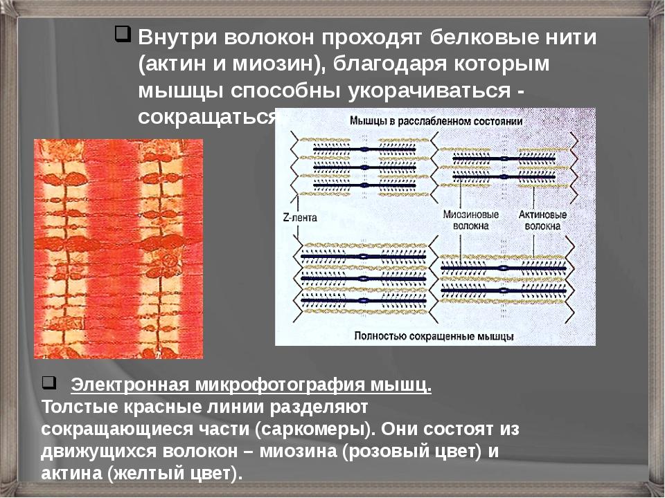 Электронная микрофотография мышц. Толстые красные линии разделяют сокращающи...