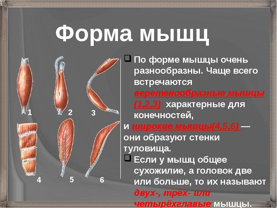 По форме мышцы очень разнообразны. Чаще всего встречаются веретенообразные мы...