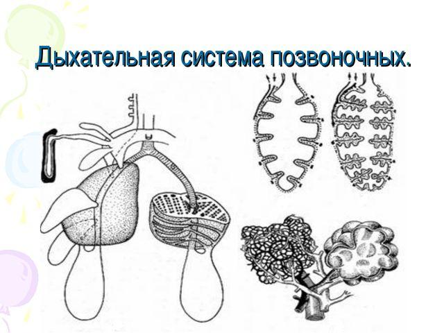 Дыхательная система позвоночных.