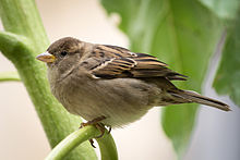 http://upload.wikimedia.org/wikipedia/commons/thumb/1/1a/House_Sparrow_f_3030.jpg/220px-House_Sparrow_f_3030.jpg
