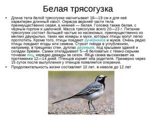 Белая трясогузка Длина тела белой трясогузки насчитывает 16—19см и для неё х