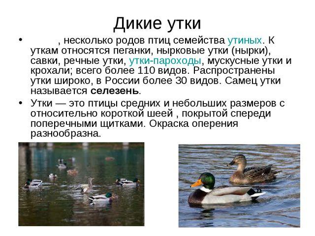 Дикие утки У́тка, несколько родов птиц семейства утиных. К уткам относятся пе...