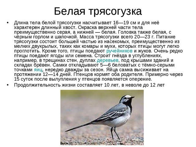 Белая трясогузка Длина тела белой трясогузки насчитывает 16—19см и для неё х...