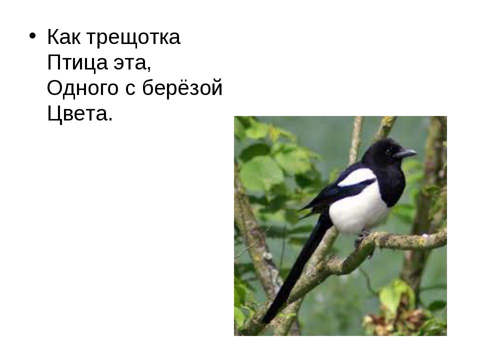 Как трещотка Птица эта, Одного с берёзой Цвета.