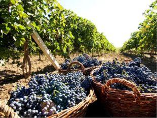 Огромные территории заняты виноградниками