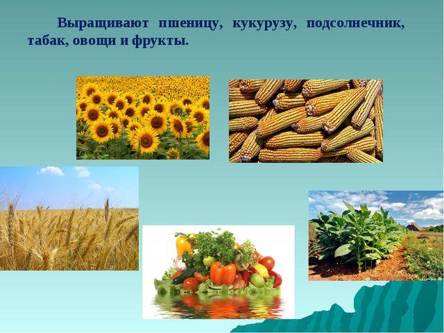 Выращивают пшеницу, кукурузу, подсолнечник, табак, овощи и фрукты.