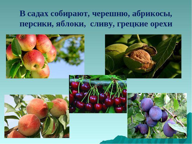В садах собирают, черешню, абрикосы, персики, яблоки, сливу, грецкие орехи