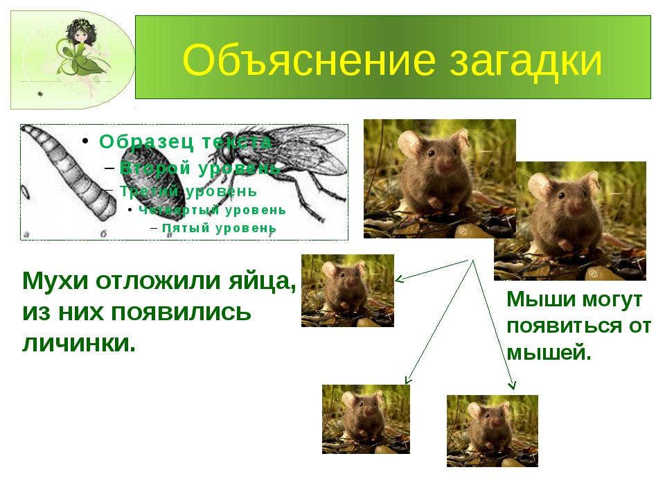 Объяснение загадки Мухи отложили яйца, из них появились личинки. Мыши могут п...