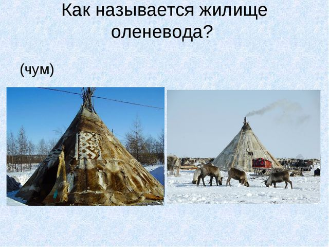Как называется жилище оленевода? (чум)