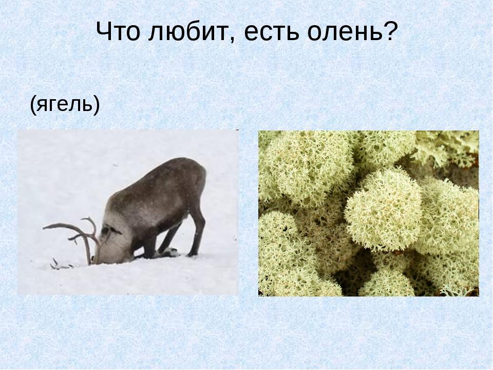 Что любит, есть олень? (ягель)