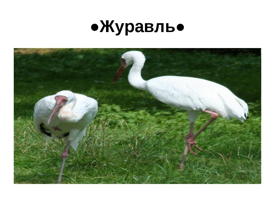 ●Журавль●