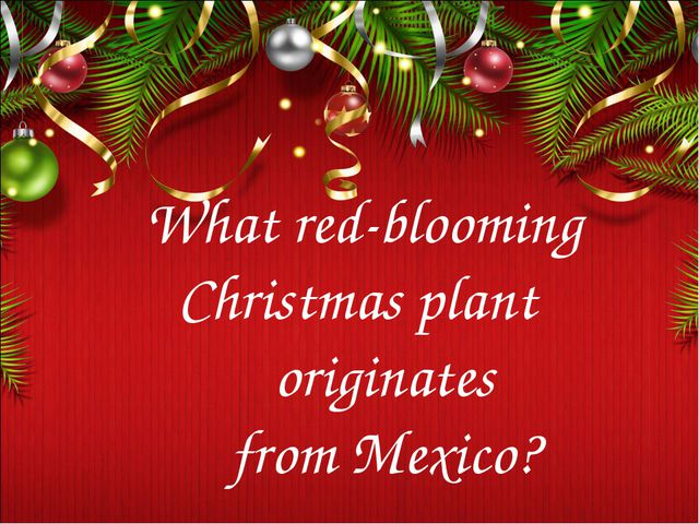 What red-blooming Christmas plant originates from Mexico?