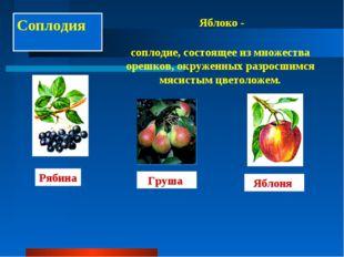 Соплодия Яблоко - соплодие, состоящее из множества орешков, окруженных разрос