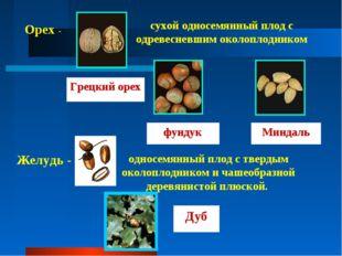 Орех - сухой односемянный плод с одревесневшим околоплодником Грецкий орех фу