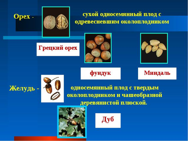 Орех - сухой односемянный плод с одревесневшим околоплодником Грецкий орех фу...