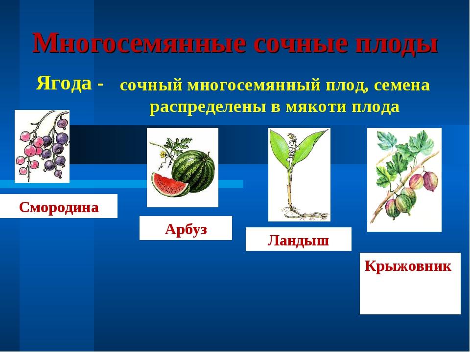 Многосемянные сочные плоды Ягода - сочный многосемянный плод, семена распреде...
