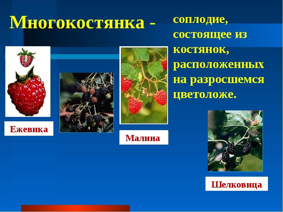Многокостянка - соплодие, состоящее из костянок, расположенных на разросшемся...