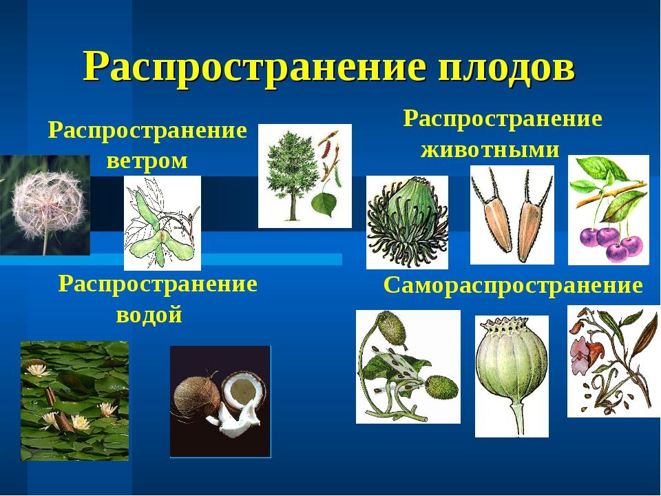 Распространение плодов Распространение ветром Распространение животными Распр...