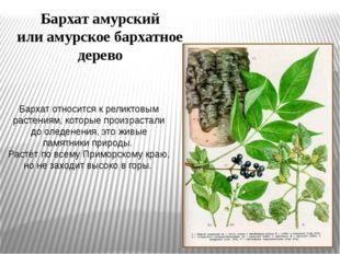 Бархат относится к реликтовым растениям, которые произрастали до оледенения,