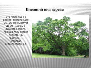 Это листопадное дерево, достигающее 25—28м в высоту и до 90—120см в диаметр