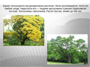 Бархат используется как декоративное растение. Легко культивируется, почти не