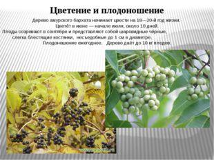 Дерево амурского бархата начинает цвести на 18—20-й год жизни. Цветёт в июне