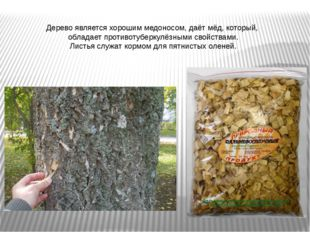 Дерево является хорошим медоносом, даёт мёд, который, обладает противотуберку