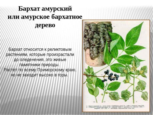 Бархат относится к реликтовым растениям, которые произрастали до оледенения,...