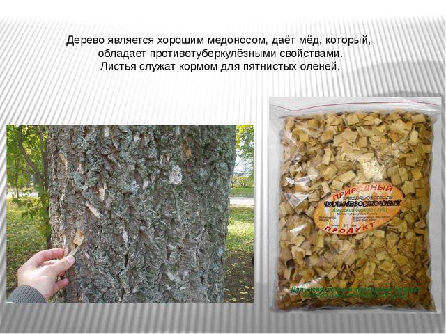 Дерево является хорошим медоносом, даёт мёд, который, обладает противотуберку...