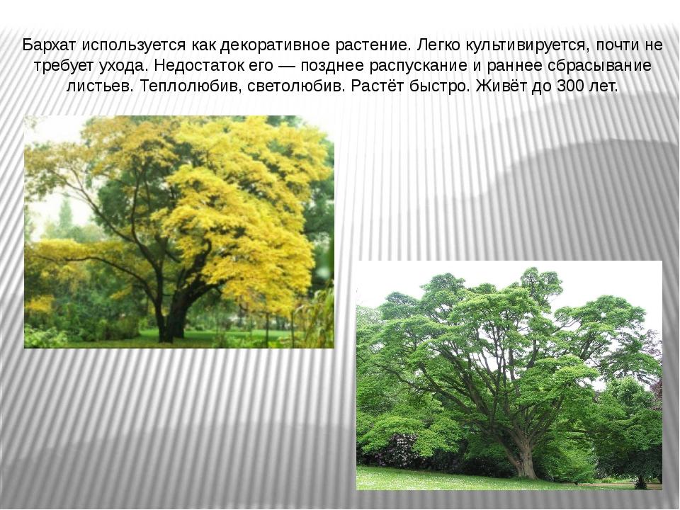 Бархат используется как декоративное растение. Легко культивируется, почти не...