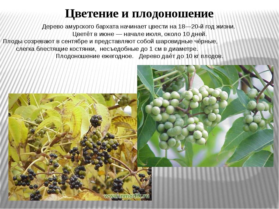 Дерево амурского бархата начинает цвести на 18—20-й год жизни. Цветёт в июне...