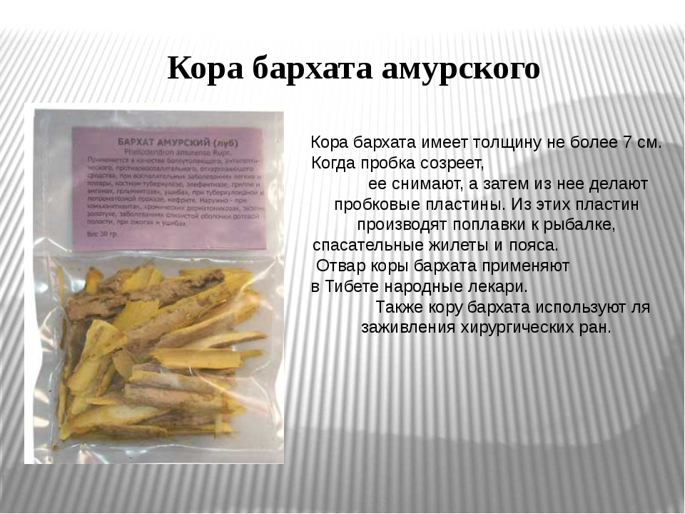 Кора бархата амурского Кора бархата имеет толщину не более 7 см. Когда пробка...